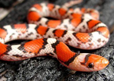 Red Scarlet Snake