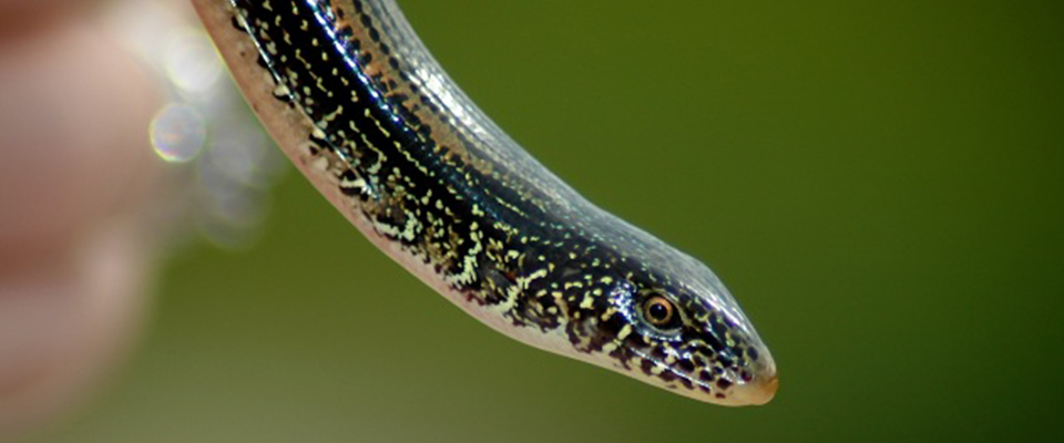 Eastern Glass Lizard