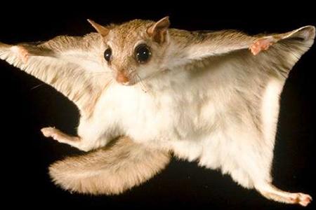 Virginia Northern Flying Squirrel Virginia Wildlife